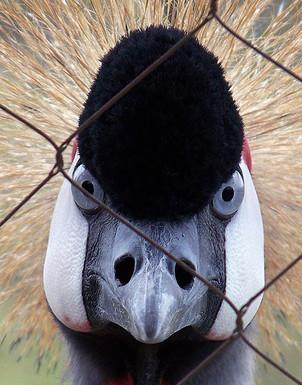 Black Crested Crane at the International