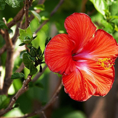 Hibiscus at the Gardens of Plum Bottom