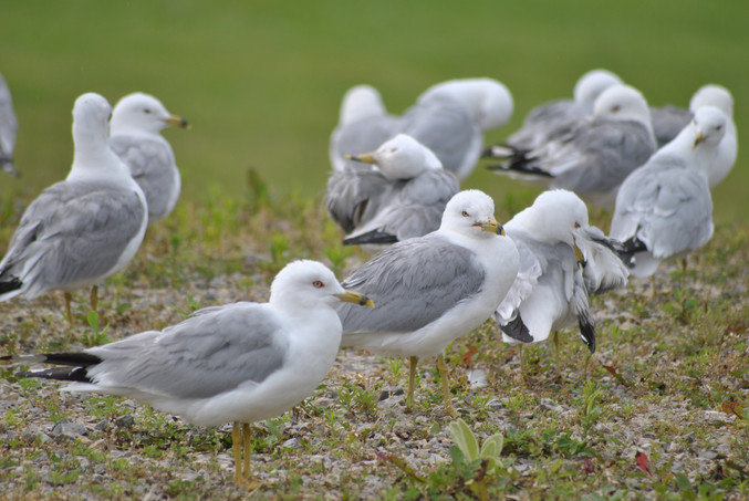 Seagulls in Egg Harbor