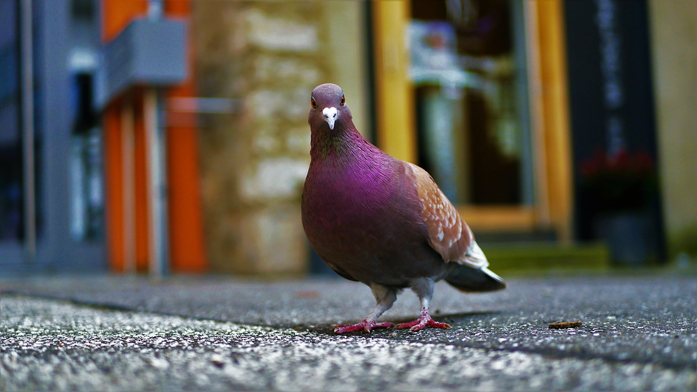 A city-dwelling homing pigeon