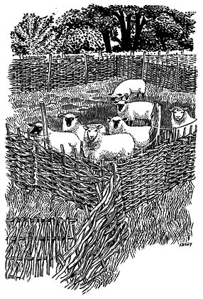 'Sheep in Hurdles' print