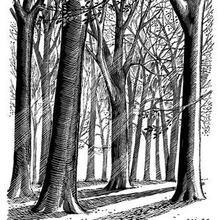 Beech Trees by Sally