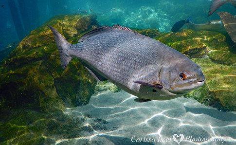 Big-Fish-of-the-Reef