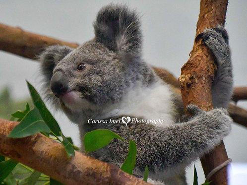Koala-fying to be a Lineman
