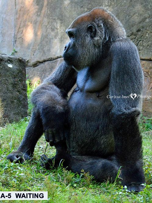 gorilla, silverback gorilla, silver back gorilla, female gorilla, zoo photography, wildlife photography, ape, great ape