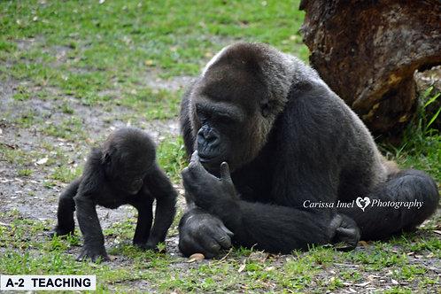 gorilla, silverback gorilla, silver back gorilla, mom and baby gorilla, baby gorilla, baby animal, zoo photography, wildlife