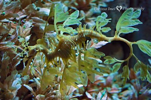 Leafy-Sea-Dragon