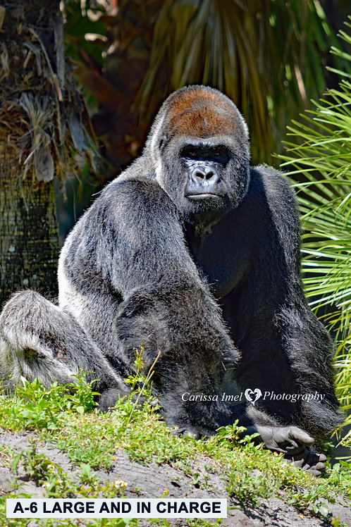 gorilla, silverback gorilla, silver back gorilla, zoo photography, wildlife photography, ape, great ape