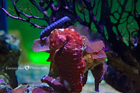 Seahorse-within-the-Coral