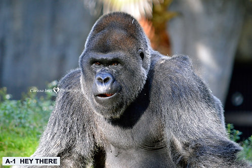 gorilla, silverback gorilla, silver back gorilla, ape, zoo photography, wildlife photography, nature photography