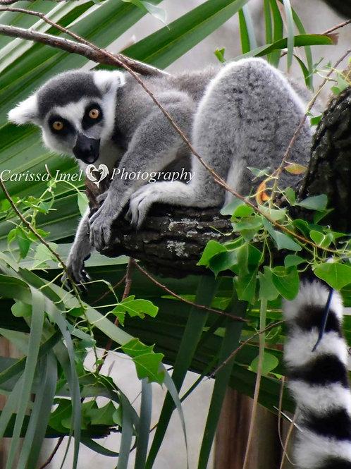 Lemur Me Alone!