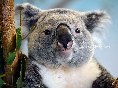 I'm Pure Koala-ty!