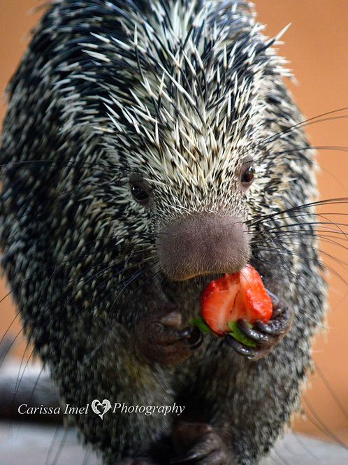 Not a Prickly Eater!