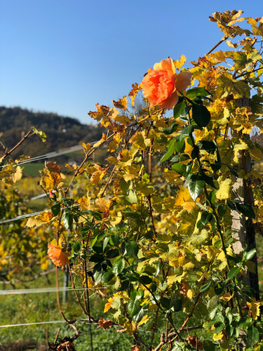 Rose Bush to tell Signs of Distress