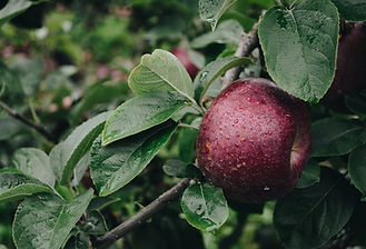 VT Apple Picking | Stowe Meadows