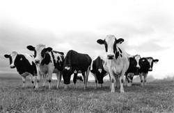 Cows black-white