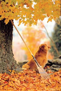 Golden Retriever - Fall image