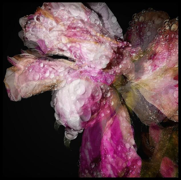 Rose fanée 1