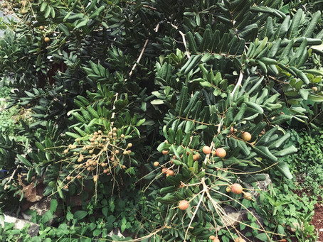 Nuansa kebun buah di Srinaya Residence