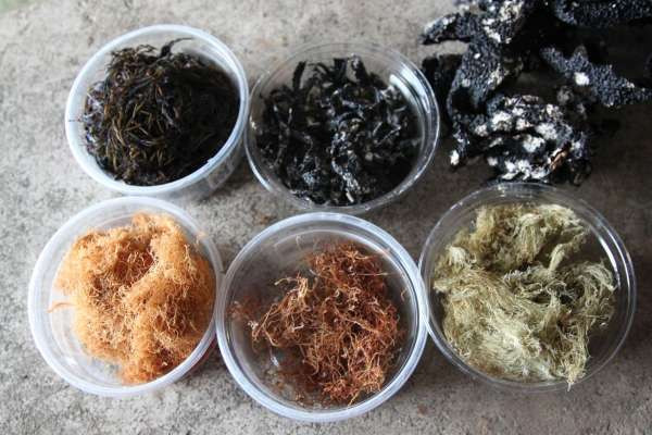 villagers are preserving various types sea weeds for different purpose