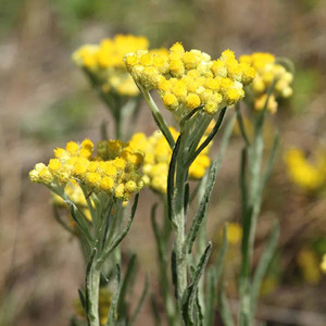 Everlasting Corsica Helichrysum