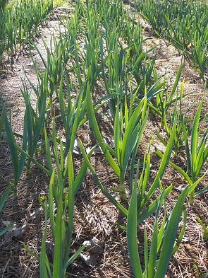 Early Garlic Plants