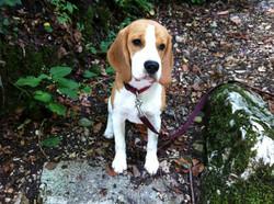 Beagles 2015 613.JPG