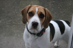 Beagles+November+2013+026.JPG