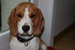 Beagles+November+2013+073.JPG