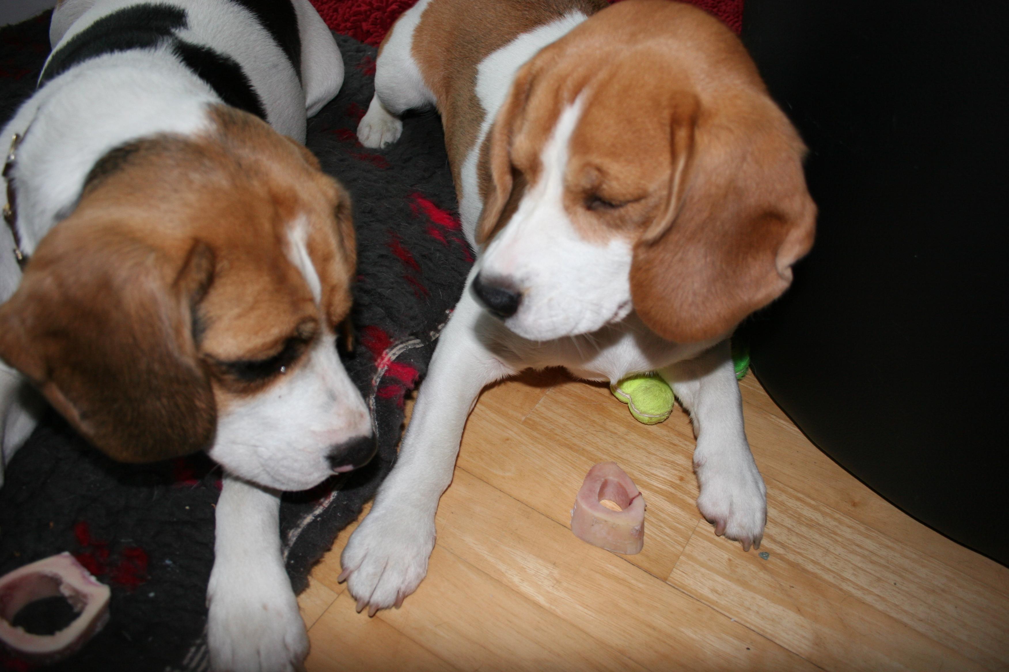 Beagles+November+2013+070.JPG
