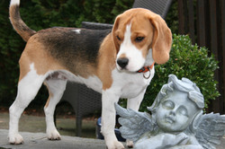 Beagles+November+2013+024.JPG