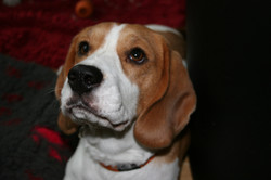 Beagles+November+2013+074.JPG