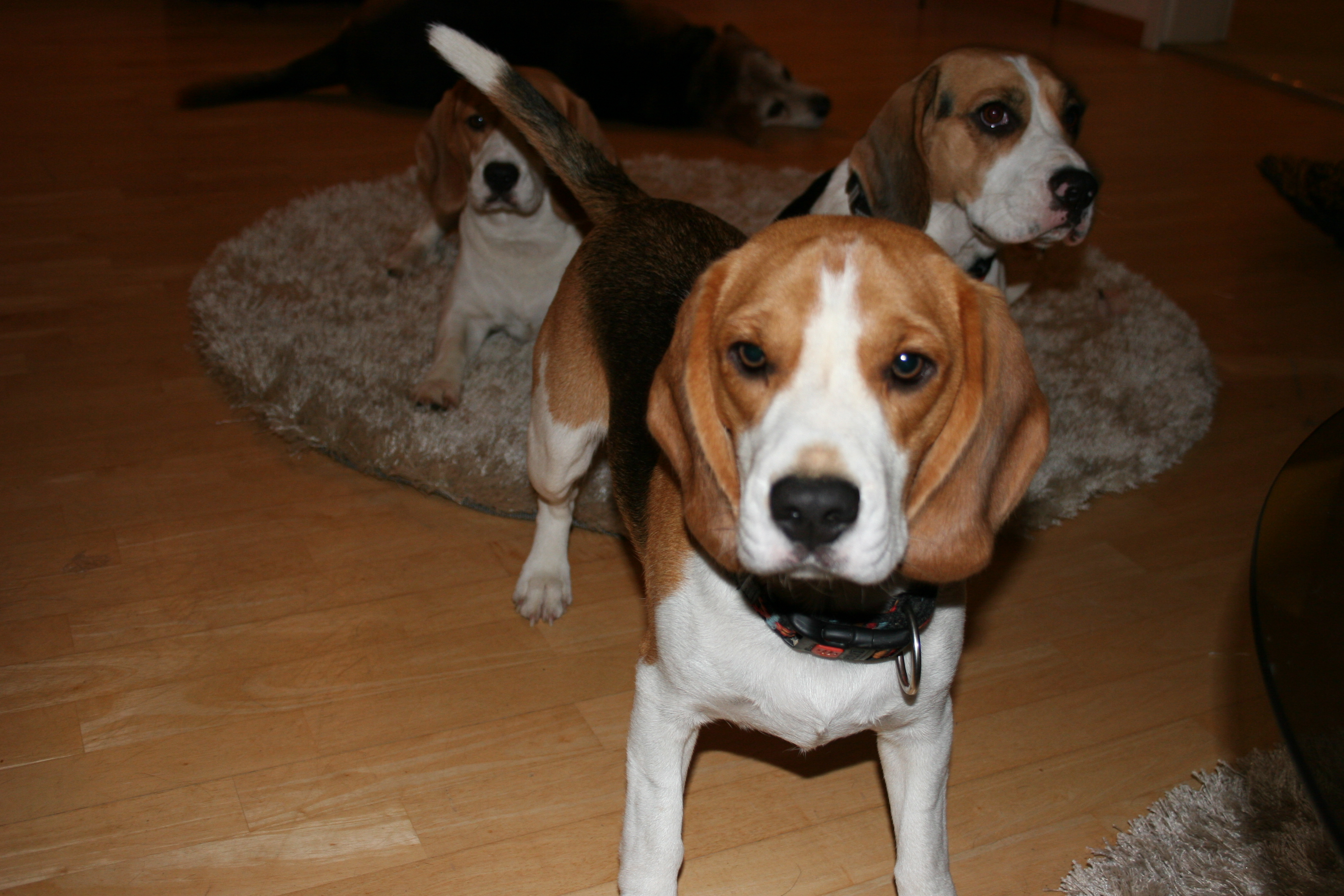 Beagles+November+2013+036.JPG