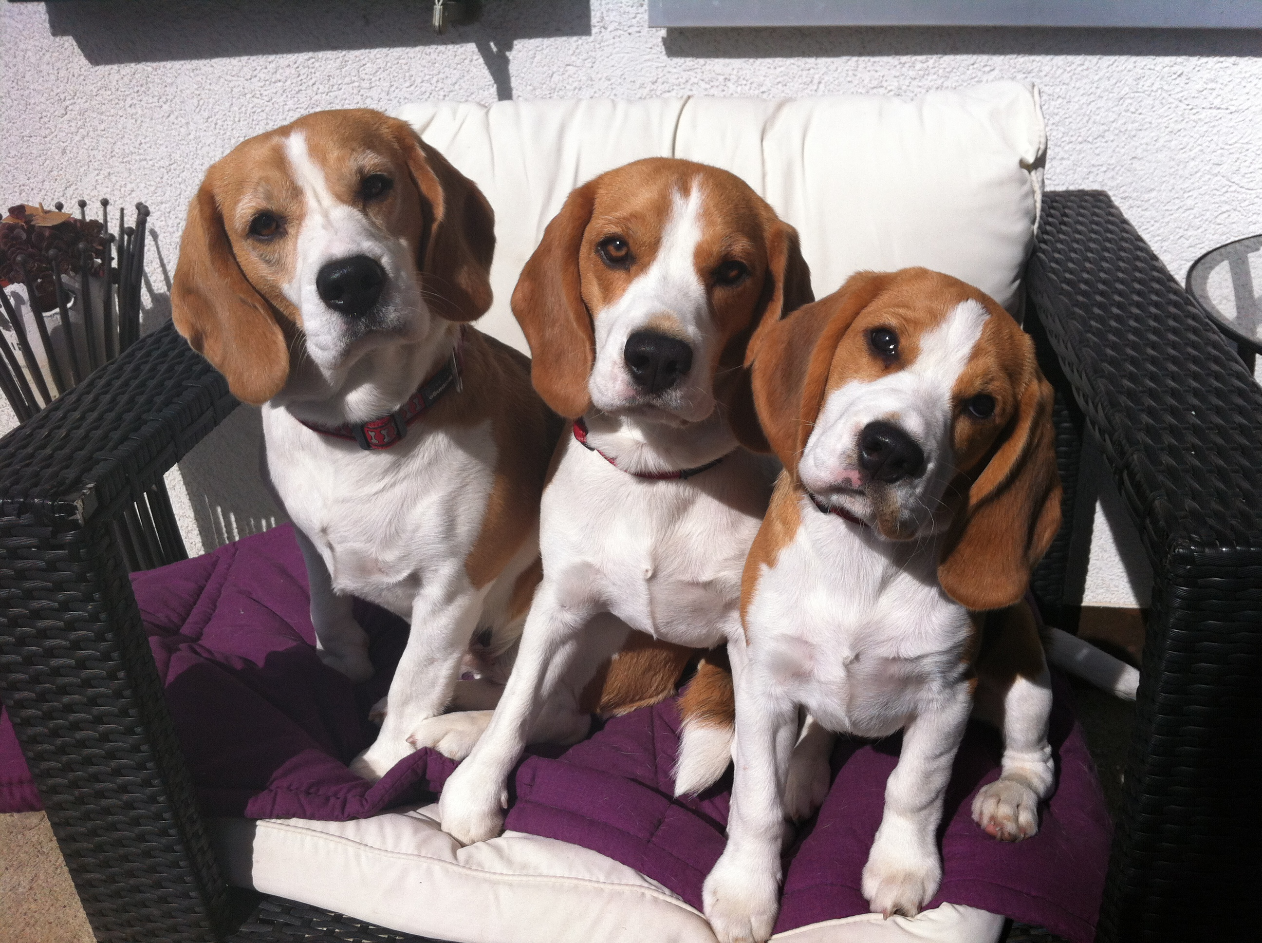 Beagles 2015 320.JPG