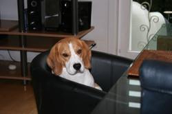 Beagles+November+2013+056.JPG