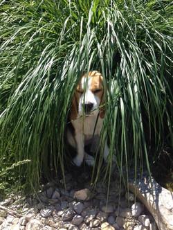 Beagles 2015 507.JPG