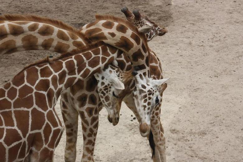 grouphug-giraffes
