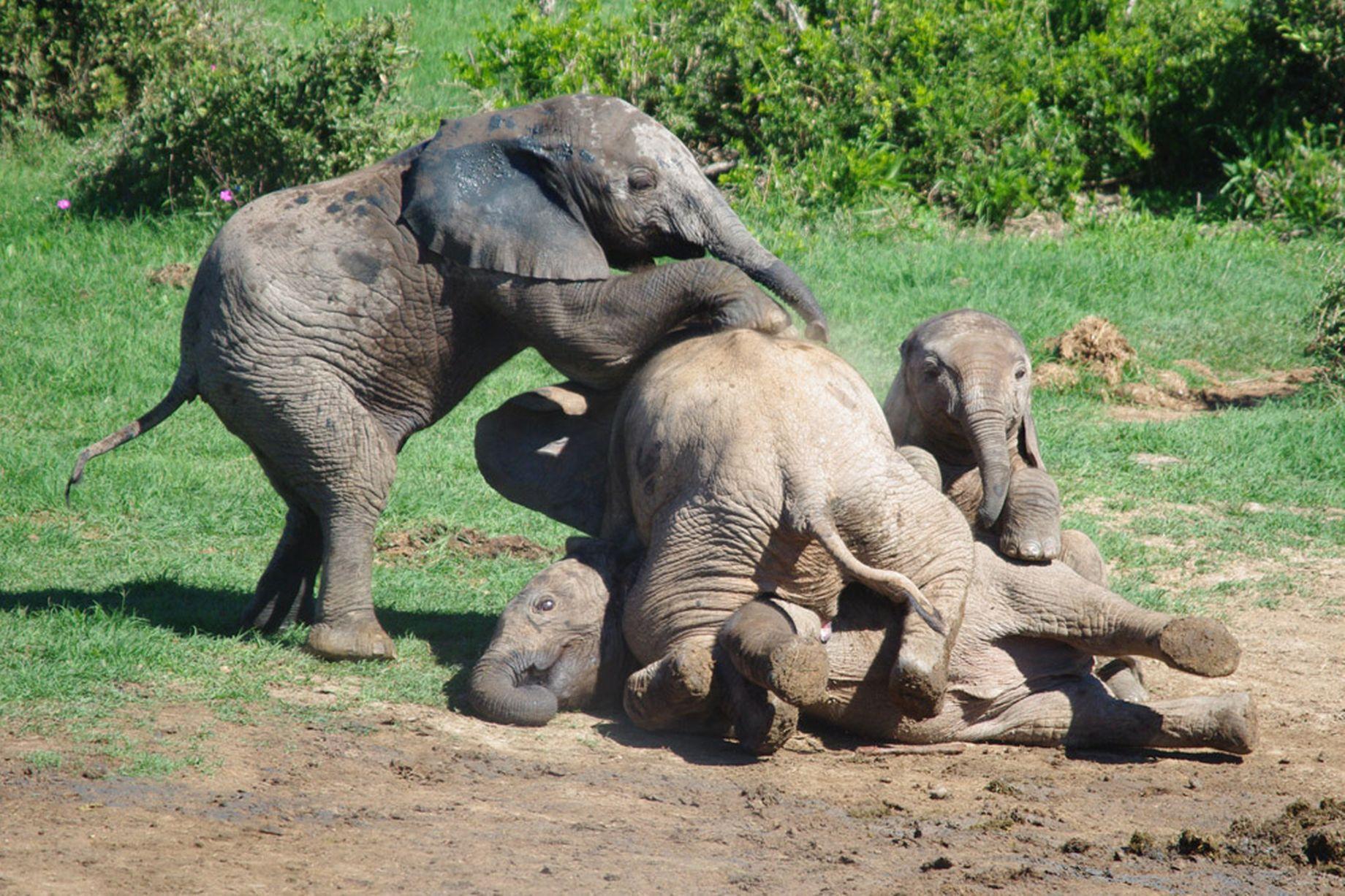 Elephant-Pile-Up