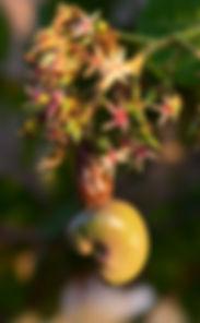 cashew nut lombok saifana organic farm plant vegetables