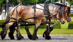 Work horses pulling