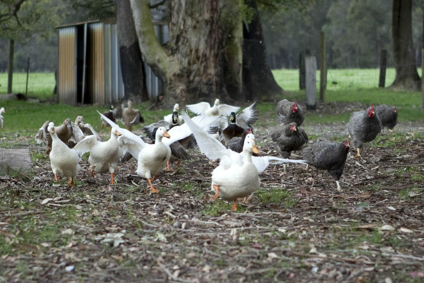 Duck Feeding on the Farm