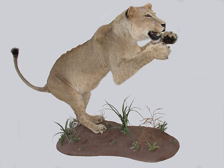 LION FEMALE JUMP.JPG