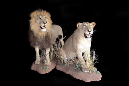 LION MALE & FEMALE2.jpg