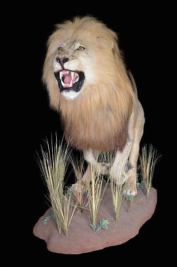 LION RUN2.jpg