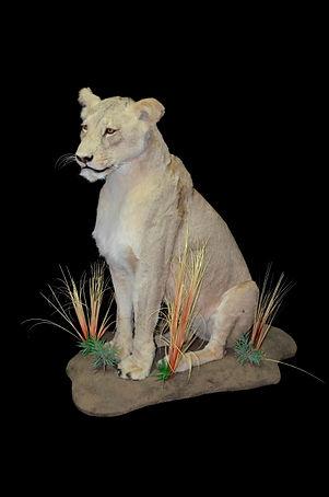 LION SIT CLOSED MOUTH.JPG
