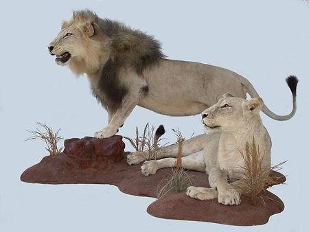 LION MALE &  FEMALE.JPG