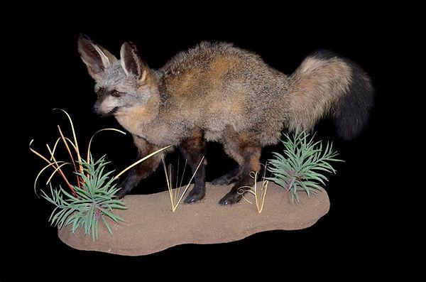 BAT EARED FOX WALKING.JPG
