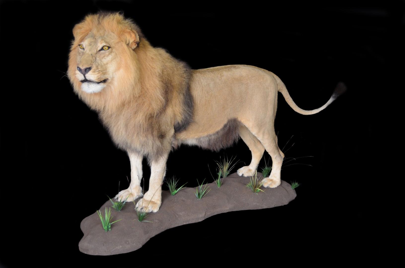 LION EWEE2.JPG