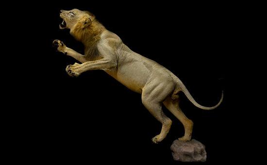 LION JUMP.jpg