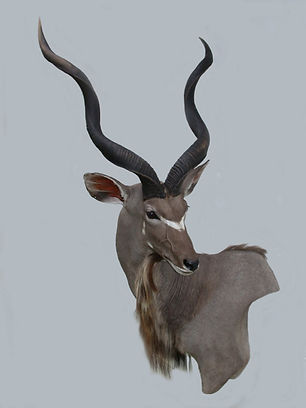 KUDU LEFT WALL PED.JPG